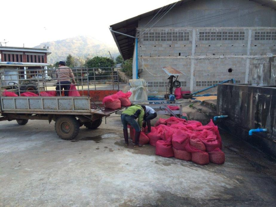 Back at the mill, they are getting ready to transport the processed beans to the courtyard for drying.