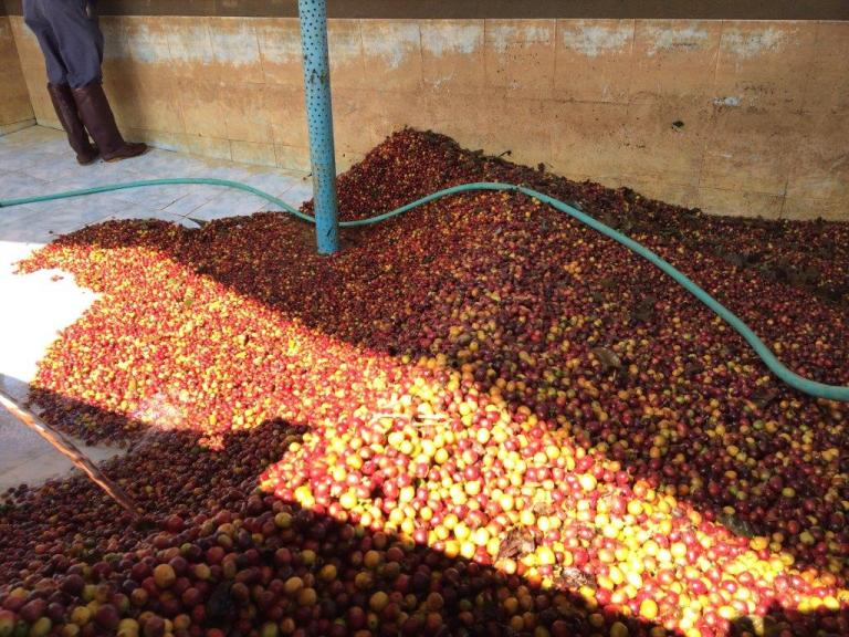 The good cherries are at the bottom and are being sucked into the pulping machine