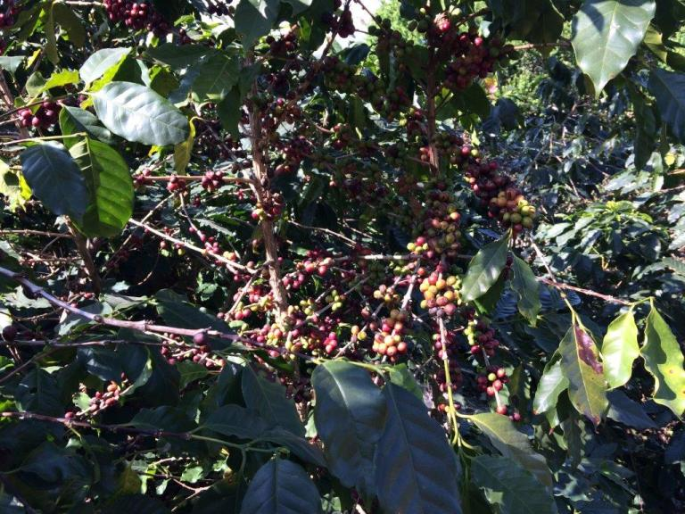 Coffee cherries plucking is tough!