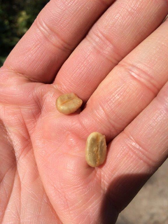 After eating the cherry, the coffee beans remain